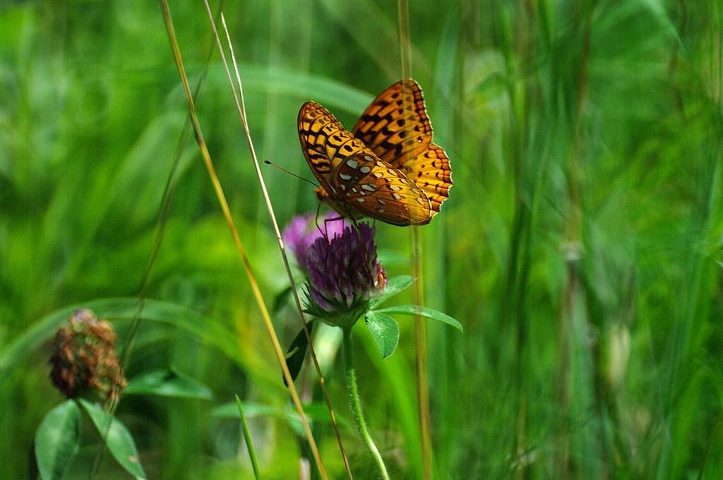 WPD- Butterfly