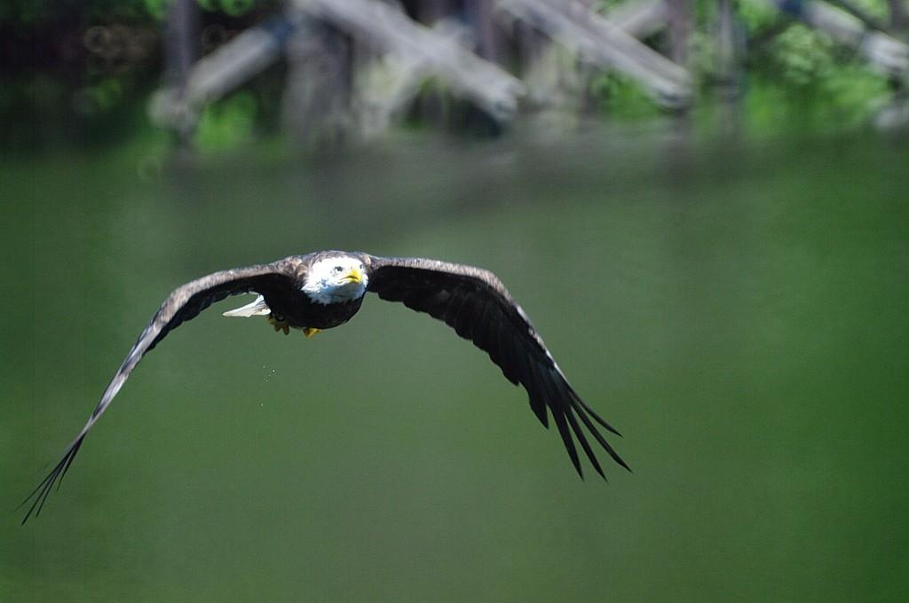 World Pentax Day - Eagle