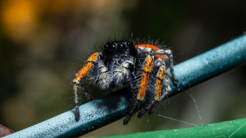 Red jumping spider male (Philaeus chrysops)
