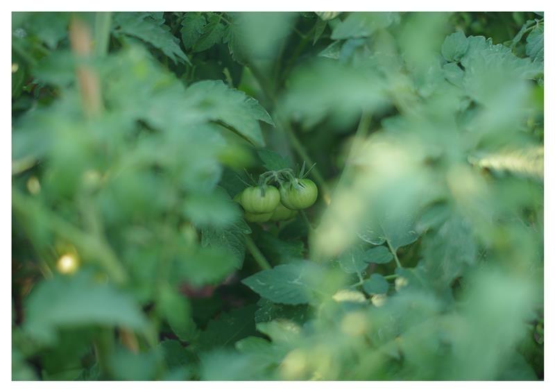 Tomato Bokeh ii