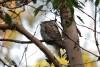 Marbled Frogmouth (podargus ocellatus plumiferus)