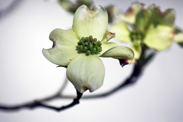 New Dogwood Blooms