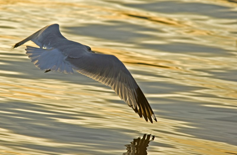 Pastel Gull