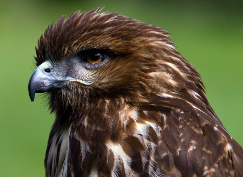 Redtail Portrait