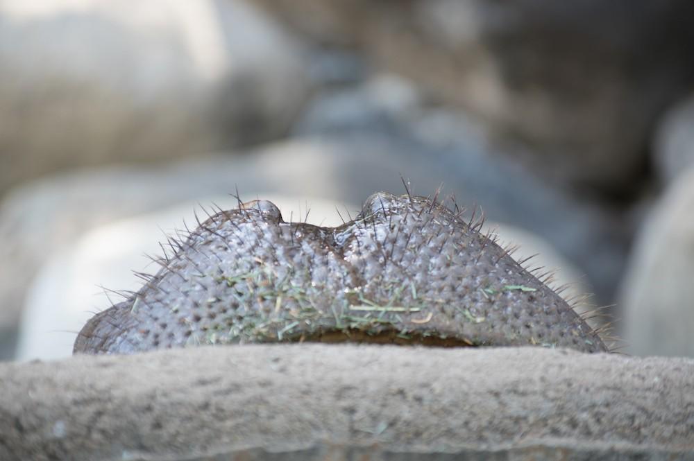 Hippo Nose