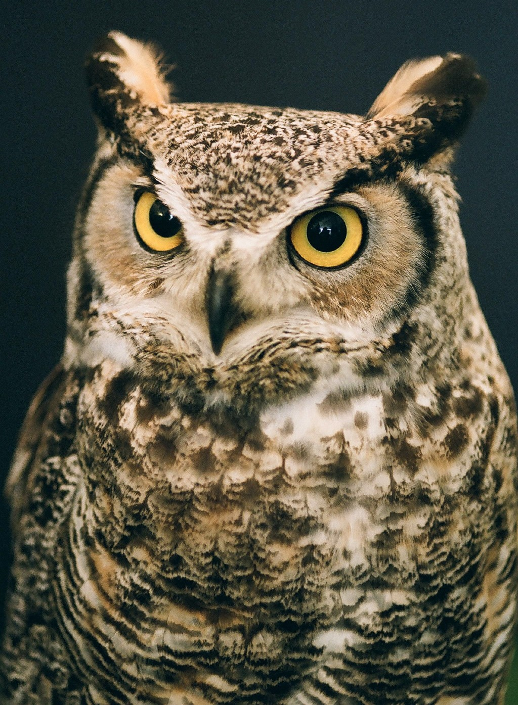 Great Horned Owl - Pentax User Photo Gallery
