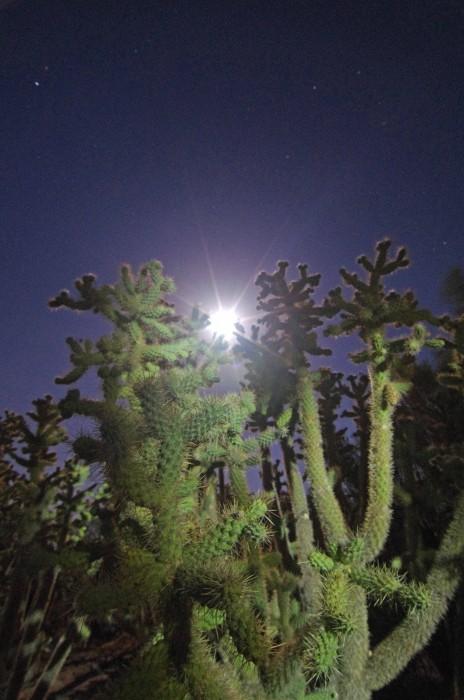 Cactus Moonbeam