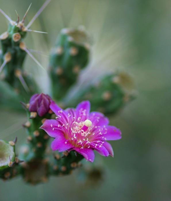 Summer Cholla Flower