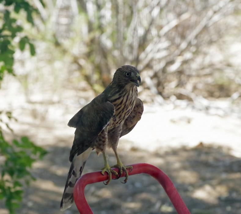 Handtruck-Hawk