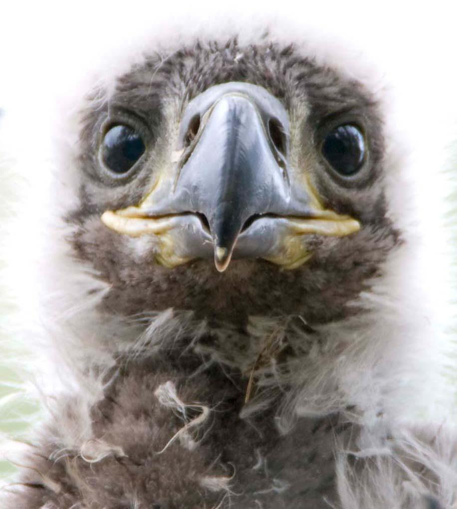 baby eaglet