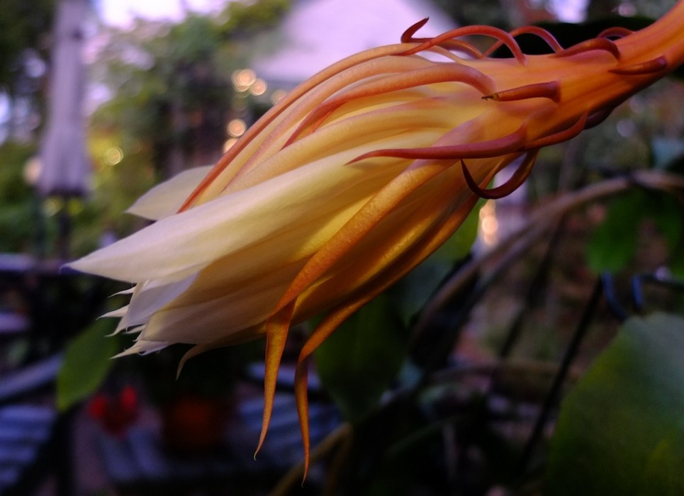 Epiphyllum the day after blooming.