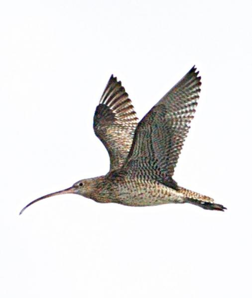 Eastern curlew 2