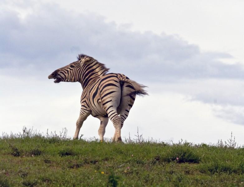 Running Wild Zebra