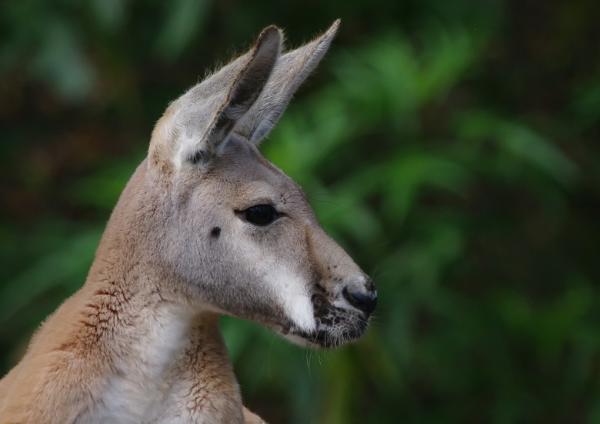 Da 55-300 kangaroo