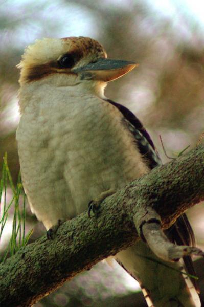 Kookaburra in the old gum tree