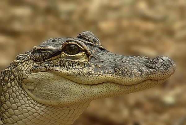 smilin croc