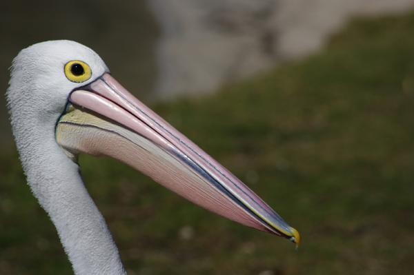 DA55-300MM Pelican