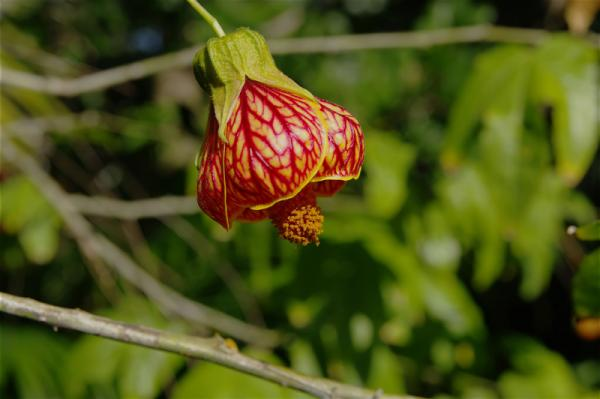 Sigma 17-70 bell flower
