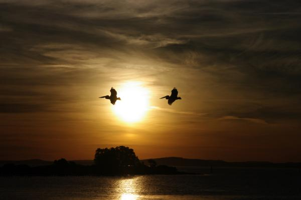 Pelican in sunset