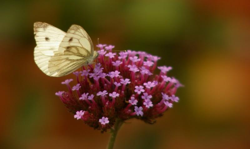 Butterfly on Verbanna