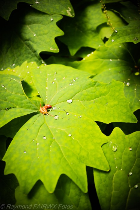 BC Rainforest leaf